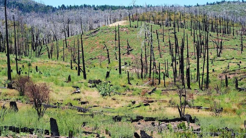 Árboles quemados por un incendio.