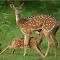 Spotted deer suckling-pixato.jpg