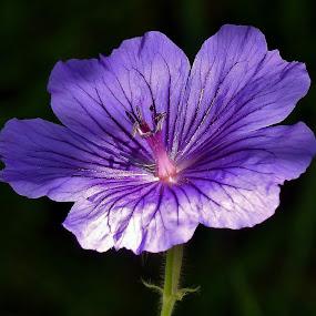 Hardy Geranium by Martin Brown - Flowers Flower Gardens ( geranium, lumix, close up, garden, purple flower,  )