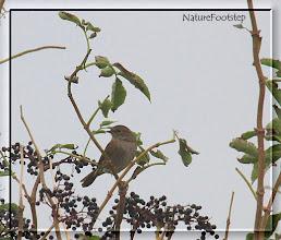 Photo: Järnsparv - Prunella modularis - Dunnock NF Photo 111004, Nabben http://nfbird.blogspot.com/2011/12/jarnsparv-prunella-modularis-dunnock.html