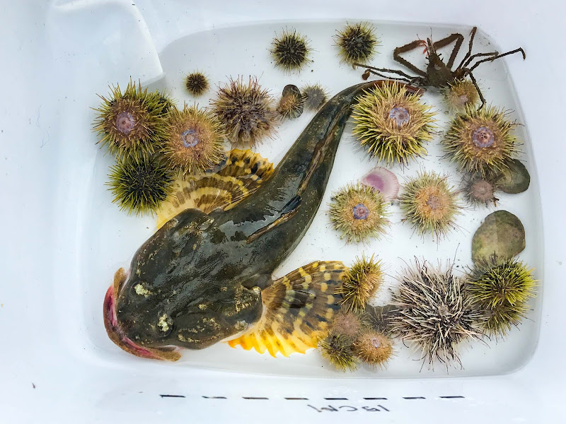 A great sculpin, or double ugly, along with a Pacific wire crab (top right) and two dozen colorful sea urchins captured and documented before they were returned to Auke Bay in Alaska.