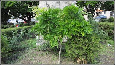Photo: Spatiul verde din fata Catedralei Ortodoxe, Glicina - (Wisteria sinensis)  - 2017.05.27