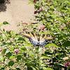 Eastern Tiger Swallowtail Butterfly - female