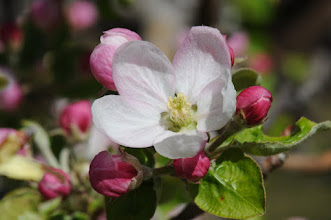 Photo: Apple blossom