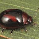 Erudite Leaf Beetle