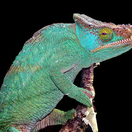 Sad cameleon by Gérard CHATENET - Animals Reptiles