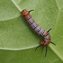 Common Crow Caterpillar