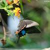Papilio paris 巴黎翠鳳蝶