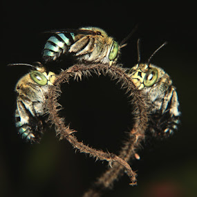 TRIPLET by Prakash Tantry - Animals Insects & Spiders ( beautiful, color, nature, big eyes, vivid )