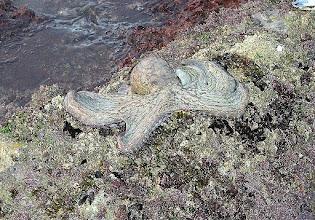 Photo: ośmiornica wyłowiona z oceanu przez tubylca podczas odpływu - o świcie
