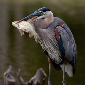 Great Blue Heron with fish by Jane Gamble - Animals Birds ( great blue heron, audubon, heron with fish, birds fishing, wildlife )