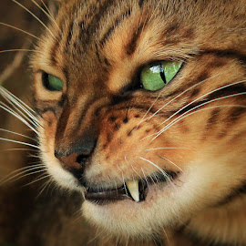 by Jane Bjerkli - Animals - Cats Portraits ( expression, cat, bengal cat, pet, eye, animal,  )