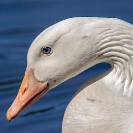 While Goose by Debbie Quick - Animals Birds ( pond, debbie quick, nature, goose, water, debs creative images, new york, waterfowl, white, outdoors, animal, wild, hudson valley, poughkeepsie, wildlife )