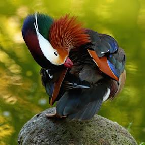 SLEEPY by Ian Sumatika - Animals Birds