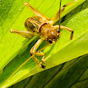 Striped raspy cricket