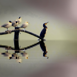 Caspian birds by Fereshteh Molavi - Animals Birds ( eflection, gulls, cormorant, sea )