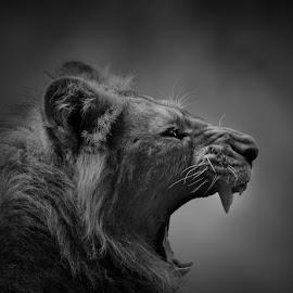 Call of the wild by Paul Fine - Animals Lions, Tigers & Big Cats ( fangs, predator, rare, endangered, roar, hunter, big cat, lion )