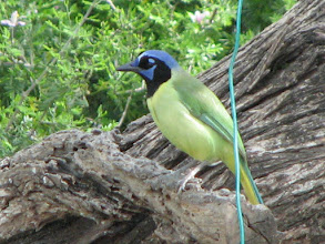 Photo: Green Jay