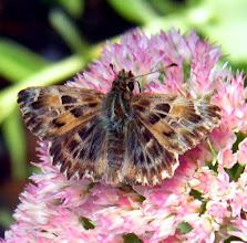 """Photo: """" Hesperia carcharodes"""" : hespérie de la guimauve, ou la grisette, ou passe-rose, ou hespérie de l'alcée...sur sédum spectabile."""