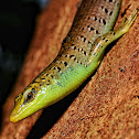 Brown Tree Skink