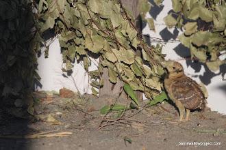 Photo: A shy grouse chick at the bird breeding facility