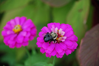 Photo: Bee and Flower at Grand Isle State Park by Linda Carlsen-Sperry.
