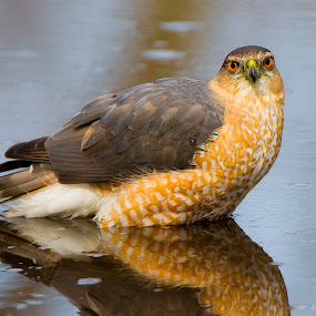 Cooper's Hawk by Satyam Muench - Animals Birds ( coopers hawk, hawk close up, hawk in water, cooper hawk, hawk )