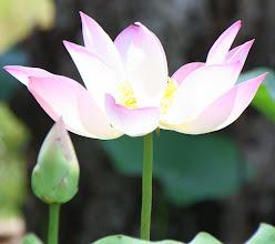 Photo: Year 2 Day 39 -  Lotus Flower