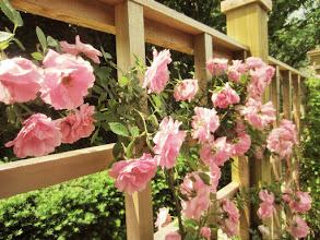 Photo: Pink roses on a wooden fence at Wegerzyn Gardens Metropark in Dayton, Ohio.