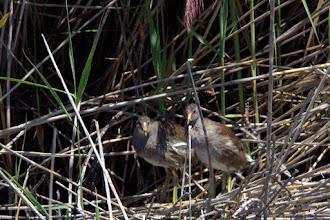 Photo: Immature Common Gallinules