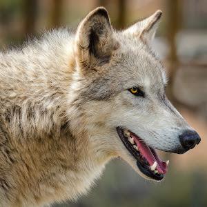 Gray Wolf-31.jpg
