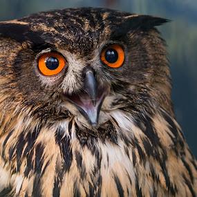 Laughing by Jürgen Sprengart - Animals Birds ( laughing, uhu, owl )