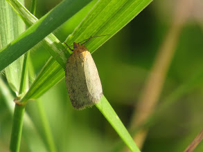 Photo: 30 Jun 13 Priorslee Lake: I have also shown a photo of this micro moth Timothy Tortrix (Aphelia paleana) before but again this fresh specimen reveals some spotting and shading. Both these moths are freely disturbed from grassy areas but are small (wingspan c.20 mm) (Ed Wilson)