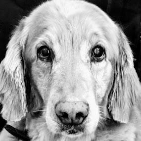 Those Eyes! by Jennifer Smusz - Animals - Dogs Portraits ( #golden, #goldenretriever, #puppydogeyes, #dog, #sweet, #retriever )