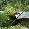 Brown-backed Red Marsh Hawk