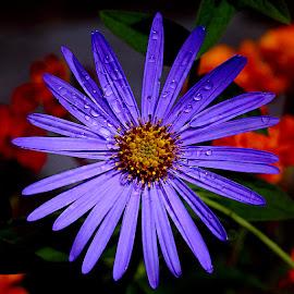 Aster by Gérard CHATENET - Flowers Single Flower
