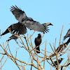Common/House Crow