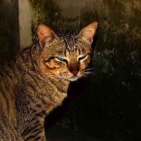tatapan Biru by Imanuel Monggesang - Animals - Cats Portraits ( cats )