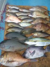 """Photo: 釣果です! """"佐賀のイノウエさん""""の釣果。 サメにも喰われ、大苦戦でした。"""