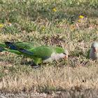 Monk Parakeet; Cata Aliazul