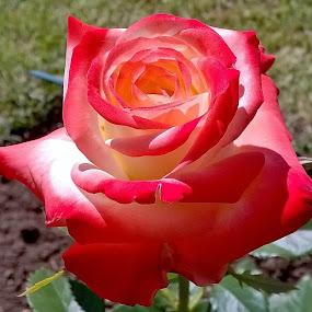 Muchas Rosas by Juan Tomas Alvarez Minobis - Flowers Single Flower (  )