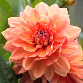 Dahlia 9942 by Raphael RaCcoon - Flowers Single Flower