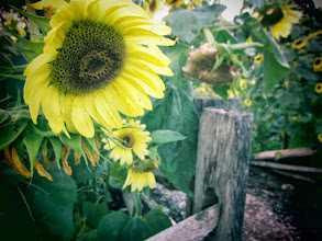Photo: Toy camera photo of sunflowers and wooden fences at Cox Arboretum and Gardens of Five Rivers Metroparks in Dayton, Ohio.