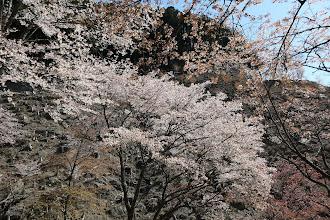 奥千本の桜3