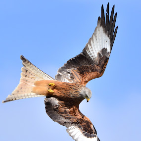 Spying by David Cozens - Animals Birds ( bird, flying, sky, red, blue, kite,  )