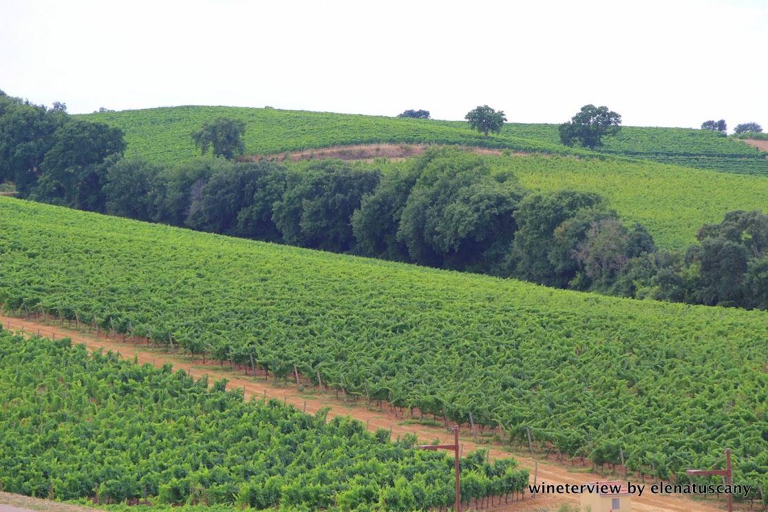 vineyards, maremma wine, maremma vino, maremma, verde maremma, vigneto, vigna, morellino di scansano, sangiovese, val delle rose