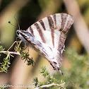 Southern Scarce Swallowtail