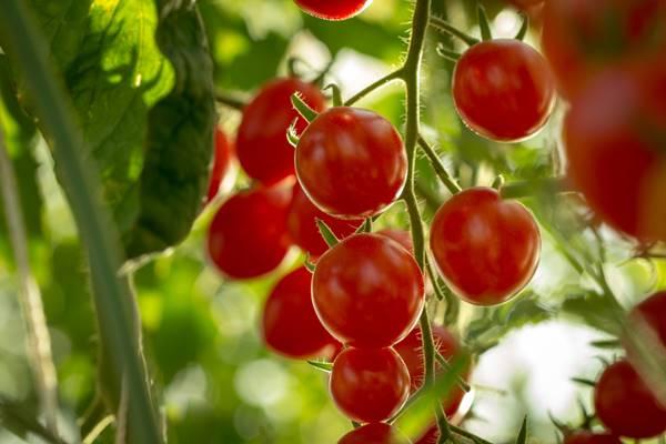 Tomate cereja cultivado em horta em casa.