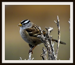Photo: White-crowned sparrow, Limantour Beach