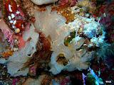 Photo: dentelle de Neptune blanche (triphyllozoon inornatum) / 2012 Sulawesi